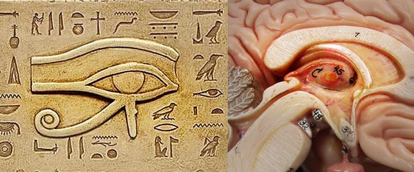 [Image: pineal%20gland%20and%20horus.jpg]